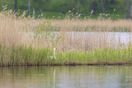 Mute Swan nesting at a lake  in reeds photo