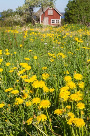 Flowering dandelions in the meadow in front of a red cottage photo