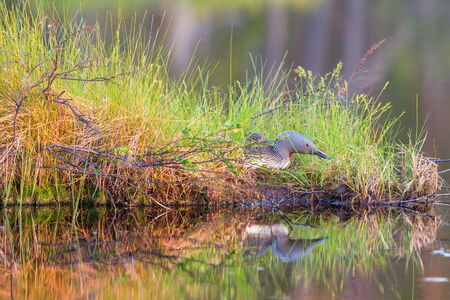 birdnest: Red throated loon who is brooding in her nest at the water Stock Photo