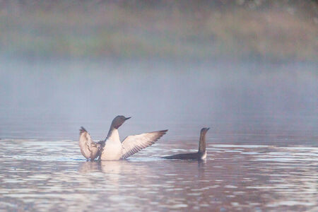 Red-throated Loons in fog at the lake photo