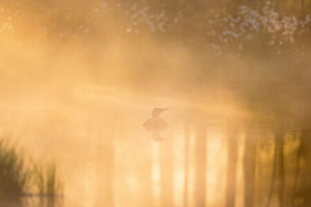 Red throated Loon in morning fog and light photo