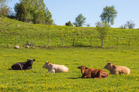 Cows lying in the meadow photo