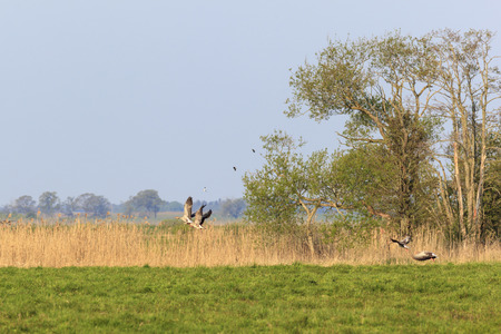 Greylag geese taking off from the meadow photo
