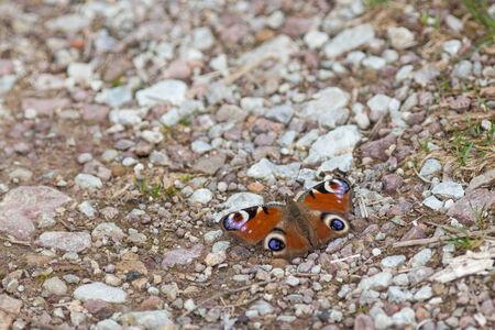 peacock butterfly: Mariposa del pavo real en un camino de grava