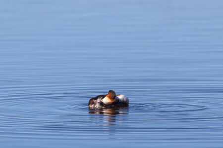 non urban 1: Great Crested Grebe preening  feathers in a lake