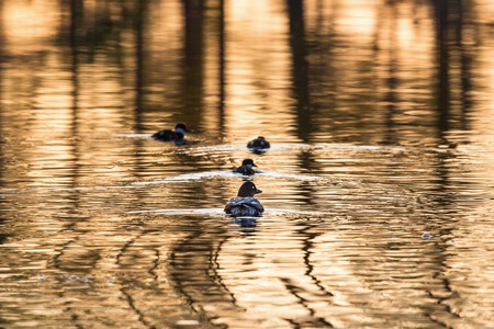 Goldeneye with ducklings in lake at sunrise photo