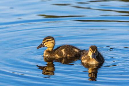 Two newborn Mallard ducklings swimming in the lake photo