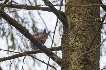 Red Squirrel sitting in a tree photo