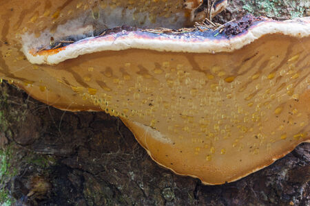 Red Banded Polypore on a tree trunk photo