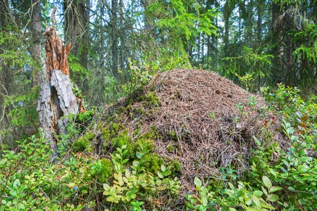 taiga: Anthill in the taiga forest