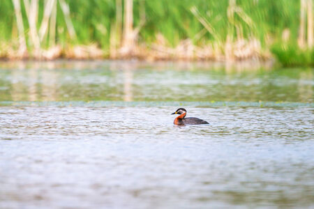 necked: Red necked Grebe swimming in lake