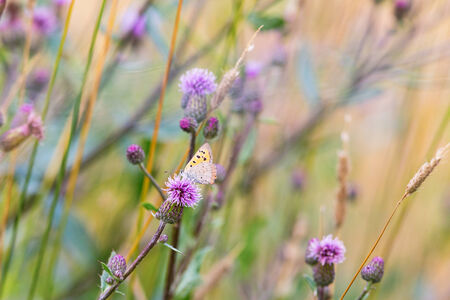 spreaded: Scarce Copper sitting on a thistle flower Stock Photo