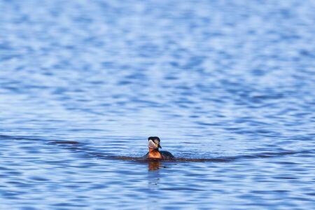 non urban 1: Red-necked Grebe swimming in lake