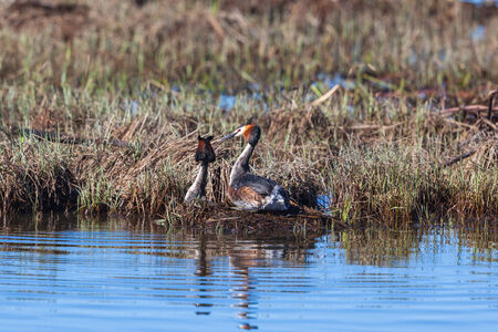 crested duck: Great Crested Grebe pair on the nest