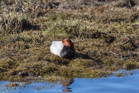 common pochard: Common Pochard lying in warter edge