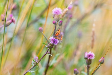 Scarce Copper sitting on a thistle flower Stock Photo