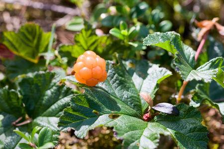 rubus chamaemorus: Crecimiento Cloudberry en el pantano