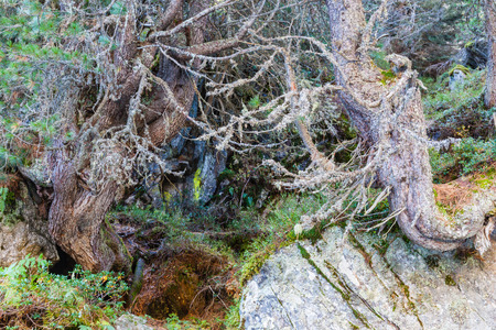 tauern: Old growth  Pine tree forest Stock Photo