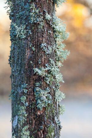 treetrunk: lichen growing on old tree trunk