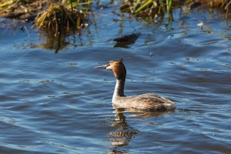 crested duck: Great crested grebe  swimming in the lake