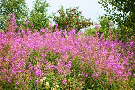 fireweed: Blooming Fireweed in the woods