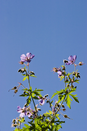 cranesbill: Wood Cranesbill and a blue clear sky