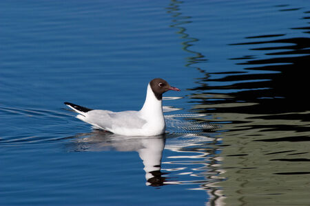 seabirds: black headed gull and water reflections Stock Photo