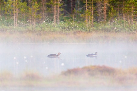 Red throated loon pair at a lake in morning fog photo