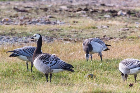 Barnacle goose grazing in a meadow photo
