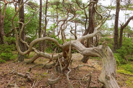 treetrunk: Old gnarled pine trees in a old forest