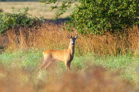 capreolus: Roe deer buck in the meadow