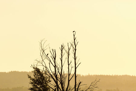 Grey herons sitting in the tree at silhouette photo