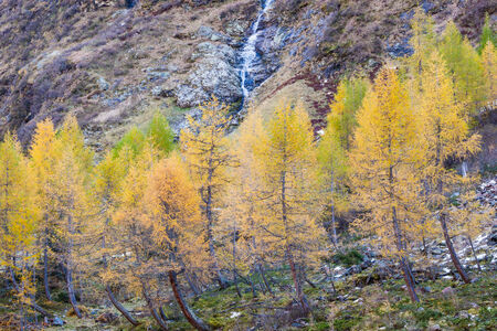 coniferous tree: Old Larch tree forest in autumn