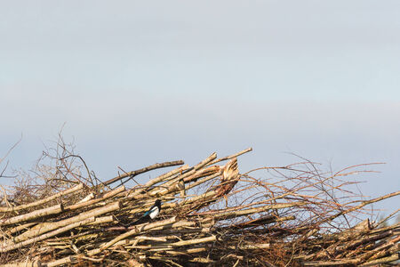 Magpie sitting on a heap of twigs photo