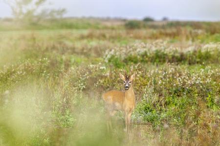 roebuck: Roe deer buck in the meadow