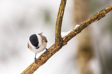 poecile palustris: Marsh Tit on a branch in winter forest