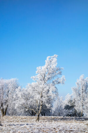 흰 서리: Hoarfrost covered birch trees in winter landscape
