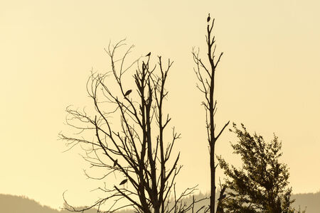 Grey herons in a tree at sunrise photo