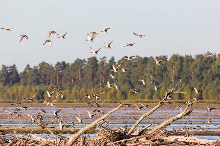 taking off: Flock of Mallards taking off frome lake