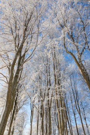 hoarfrost: Beech trees with hoarfrost against the sky Stock Photo