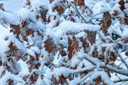 Oak tree leaves covered with frost photo