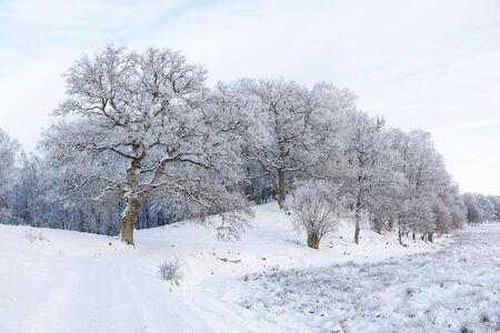 hoarfrost: Old Oak trees  with hoarfrost