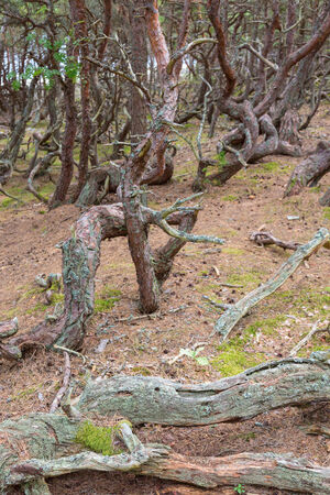 gnarled: Old gnarled pine trees in a old forest