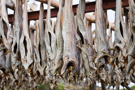 stockfish: Cod stockfish hanging on flakes
