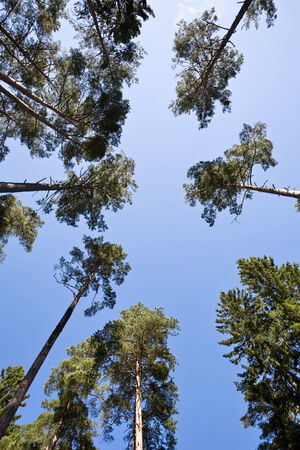 pine trees: Pine trees from below against a blue sky