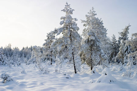 boreal: Boreal forest in wintertime Stock Photo