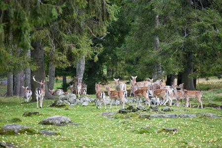 terrestrial mammals: A herd of fallow deer in the woods Stock Photo