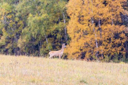 roebuck: Deer in a field in autumn landscape