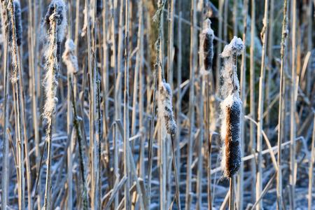 Frozen Cattail in winter time photo