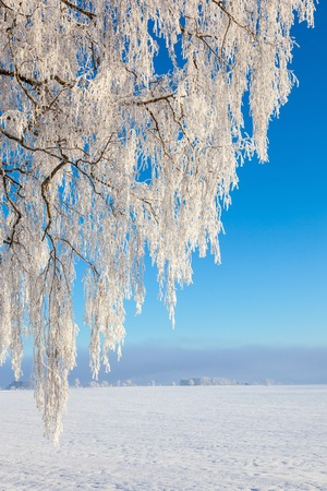 흰 서리: Winter countryside landscape and tree with hoarfrost 스톡 사진